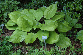 Hosta 'Sum and Substance' - Mori Gardens