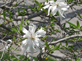 Magnolia Royal Star - Mori Gardens