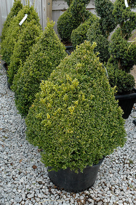 Green Mountain Boxwood Pyramid - Mori Gardens