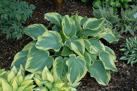 Hosta 'Earth Angel' - Mori Gardens
