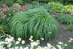 Red Head Fountain Grass - clearance