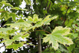 Harlequin Maple - Mori Gardens