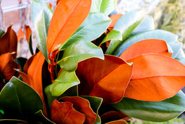 Magnolia Leaves Bundle