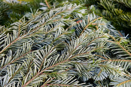 Silver Fir Bundle