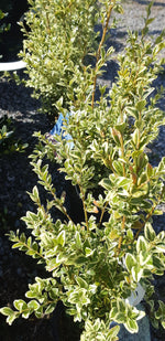Boxwood Variegated English - Mori Gardens
