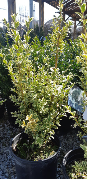 Variegated English Boxwood - Mori Gardens