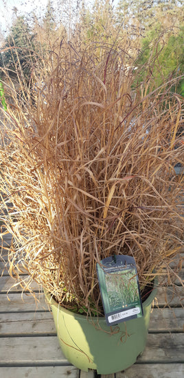 Panicum virgatum 'Shenandoah' Reed Switch Grass