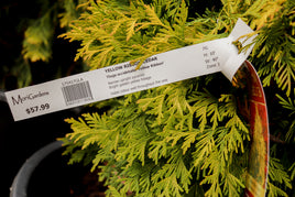 Yellow Ribbon Cedar - Mori Gardens