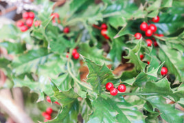 Red Glossy Berries with Green Leaves