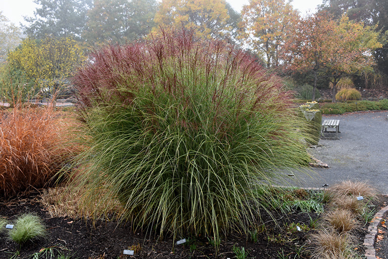 Miscanthus Morning Light Maiden Grass - Mori Gardens