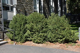 Green Mountain Boxwood - Mori Gardens