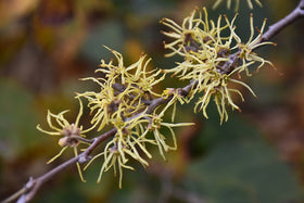 Common Witchhazel - Mori Gardens