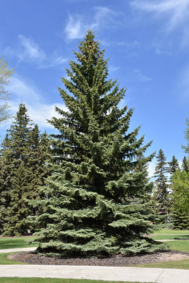 Blue Colorado Spruce - Mori Gardens