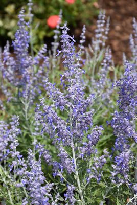 Lacey Blue Russian Sage - Mori Gardens