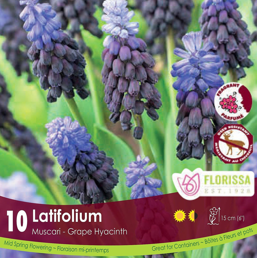 Latifolium Grape Hyacinth - Preorder - Mori Gardens