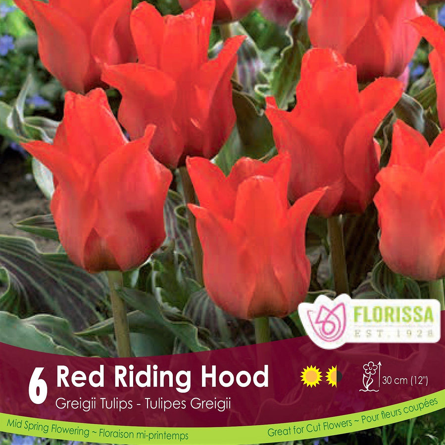 Tulips Red Riding Hood - Preorder - Mori Gardens