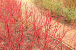Golden Dogwood (Red Twig in Winter)