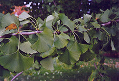 Ginkgo Tree - Maidenhair Tree - Mori Gardens