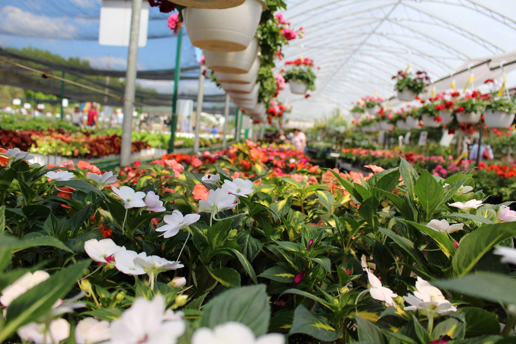 Close up of colourful flowers and hanging baskets in an open greenhouse