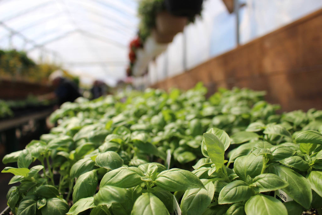 Close up of green basil leaves in a sunny greenhouse with flower hanging baskets hung overtop