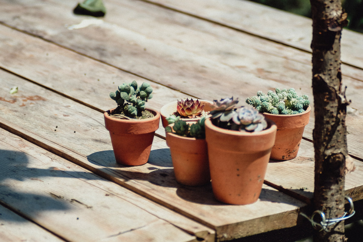 Four Succulent Plants On Wooden Planks