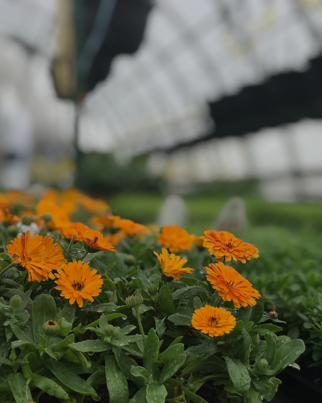 Close up of bright orange gerbera daisies in a bright greenhouse