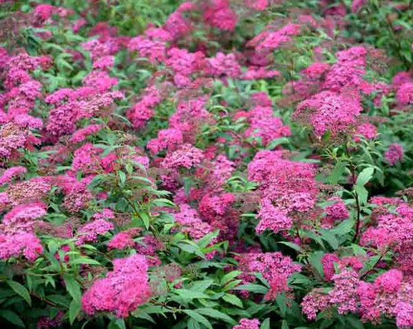 Anthony Waterer (Japanese Spirea)
