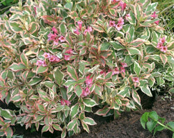 My Monet Weigela