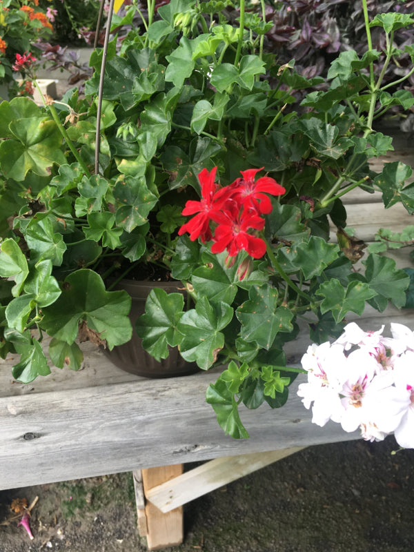 Ivy Geranium (Red and Light Pink) Hanging Basket