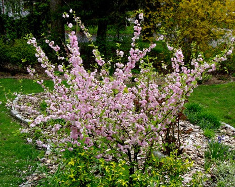 Prunus Triloba Variegated Multiplex (Flowering Almond)
