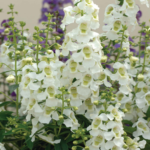 Angelonia  (Summer Snapdragon)