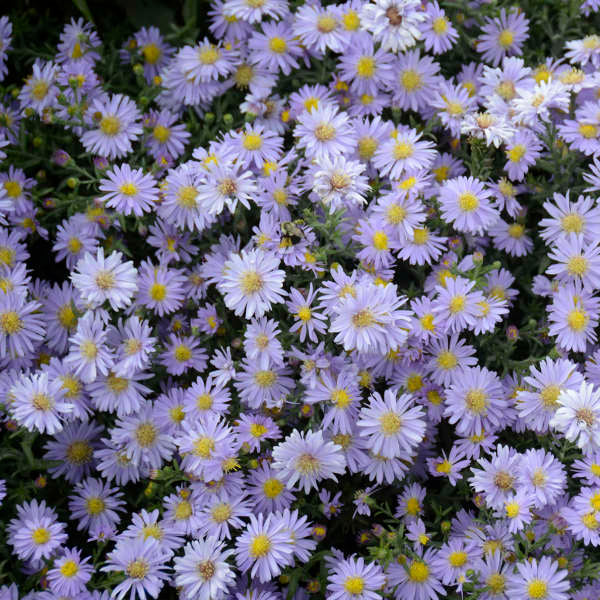 Aster (Frost Flowers)