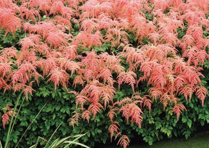 Astilbe Ostrich Plume