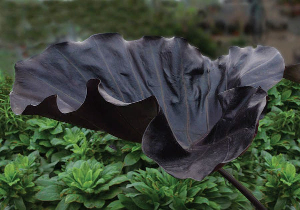 Colocasia 'Black Goblet'