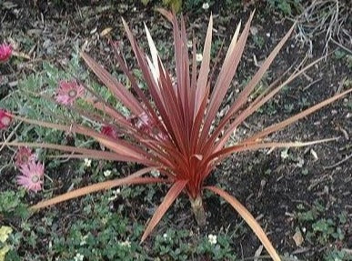 Cordyline Red Star (Cabbage palm)