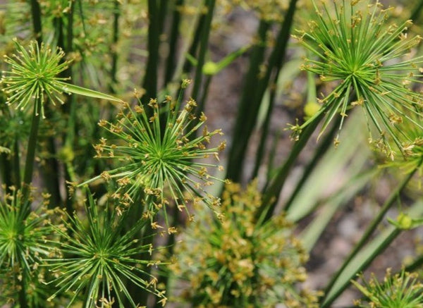 Cyperus rotundus (Nut Sedge)