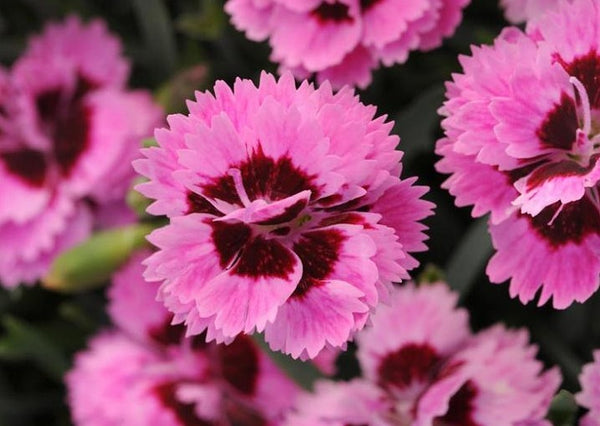 Dianthus Everlast Lilac Eye