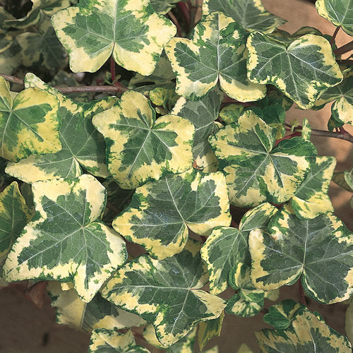 Hedera helix (English Ivy)