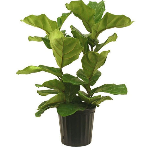Ficus Lirata Bush Fiddle Leaf Fig