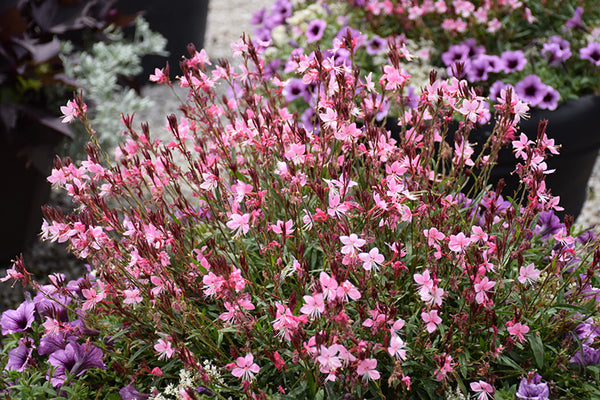 Gaura 'Butterfly Flower'
