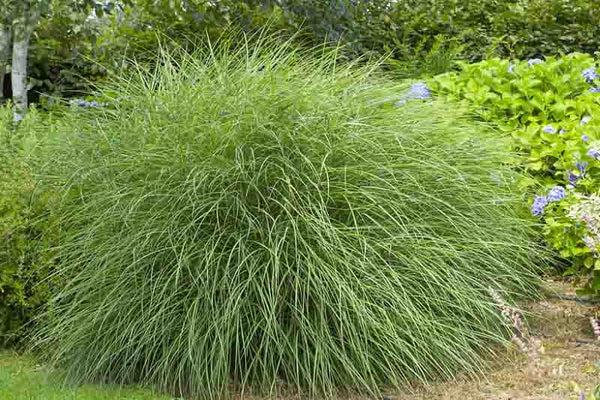 Miscanthus (Silver grass)