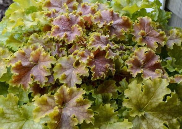 Heuchera Apple Twist