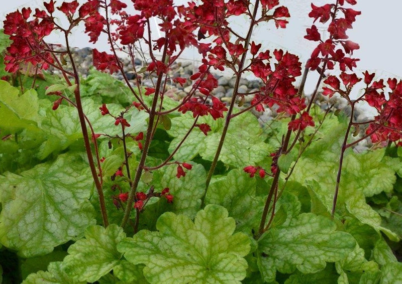 Heuchera Appletini