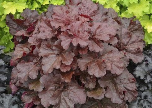 Heuchera Mahogany Monster