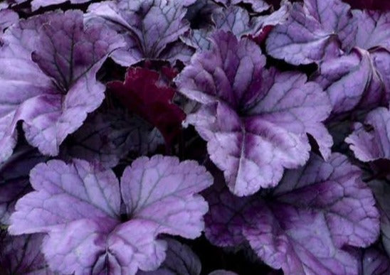 Heuchera Wild Berry