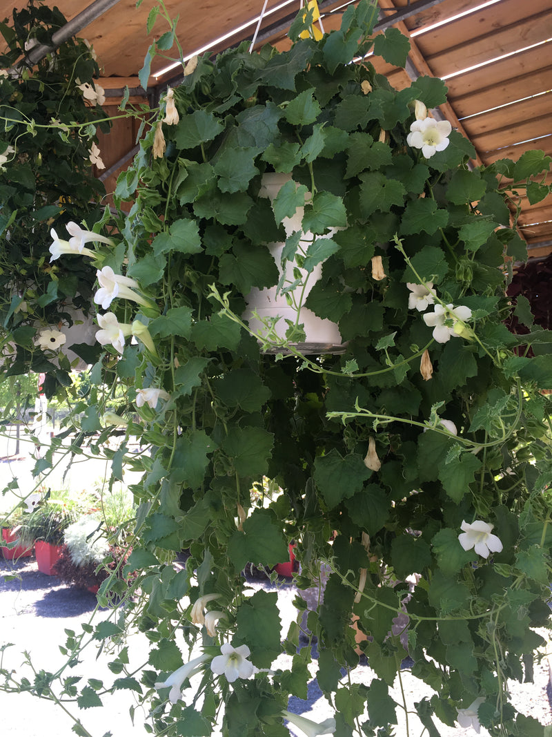 White Lofos Hanging Basket