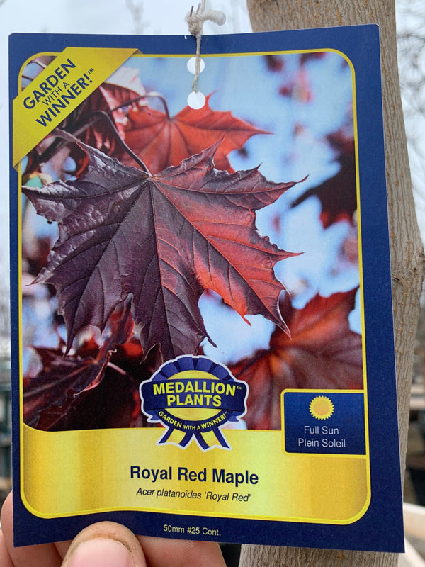 Royal Red Maple