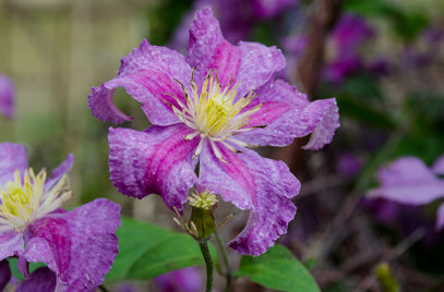 Clematis (Leather Flower)