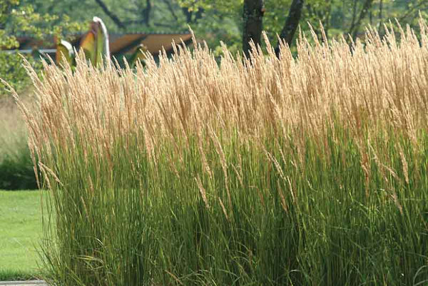 Calamagrostis (Feather reed grass)