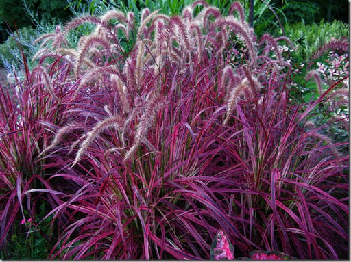 Pennisetum (Crimson fountaingrass)